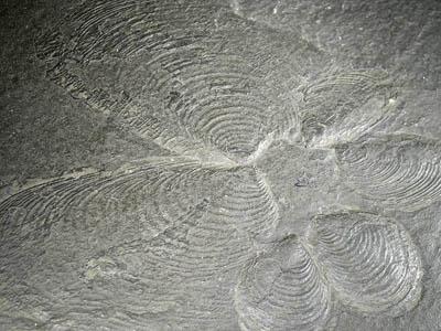 Mlž rodu Posidonia, spodní karbon.