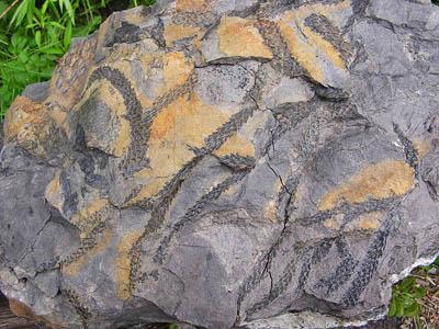 Větve plavuně rodu Lepidodendron, svrchní karbon.