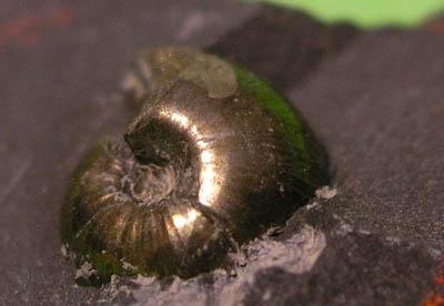Pyritizovaný juvenilní zástupce goniatitů, svrchní karbon.